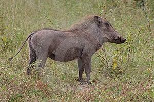 Wrattenzwijn Stock Foto - Afbeelding: 8651250