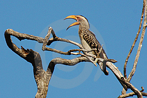 Yellowbill Bird Stock Images - Image: 8651324