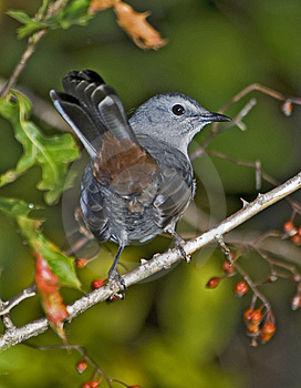Catbird Stock Photo - Image: 8651710