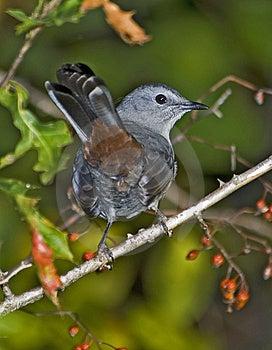 Catbird Stock Photo - Image: 8651710