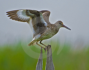 Eastern Willet Displaying Wings Stock Image - Image: 8651771