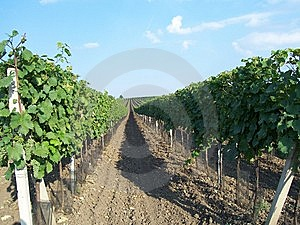 Vineyard Stock Image - Image: 8652821