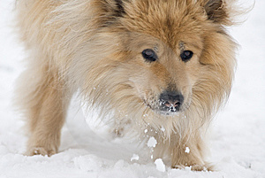 Snow Eating Dog Stock Images - Image: 8653714
