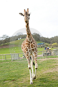 Giraffe In Africa Stock Images - Image: 8653754