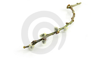 Catkin Stick Royalty Free Stock Photos - Image: 8653798