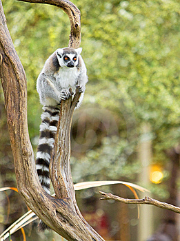 Lemur In A Tree Stock Photo - Image: 8653810