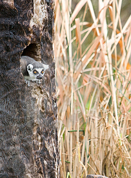 Lemur In A Tree On A Safari Royalty Free Stock Photos - Image: 8653878