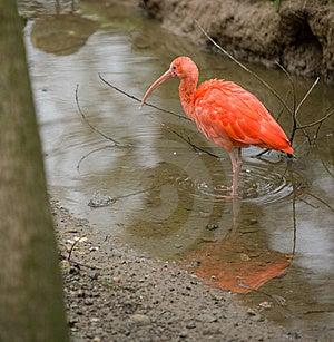 Scarlet Ibis Royalty Free Stock Photo - Image: 8654005