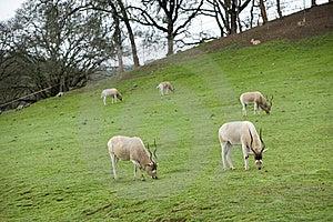 Gemsbok Antelope Royalty Free Stock Photos - Image: 8654068