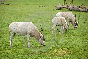 Gemsbok Antelope In Naturan Enviroment Royalty Free Stock Image - Image: 8654116