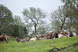 Ankole Cattle Royalty Free Stock Images - Image: 8654279