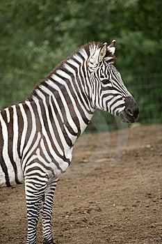 Zebra Stock Image - Image: 8654521