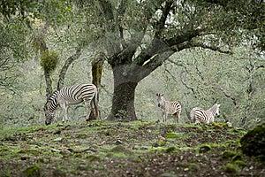 Zebra Royalty Free Stock Photos - Image: 8654578