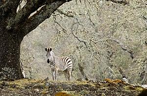 Zebra Royalty Free Stock Photography - Image: 8654677