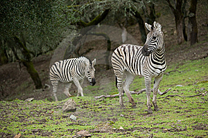 Zebra In The Wild Royalty Free Stock Images - Image: 8654859