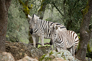 Zebra In The Wild Stock Photography - Image: 8654952