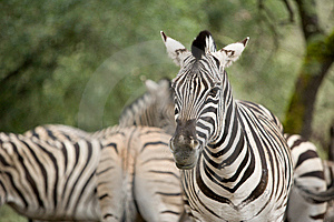 Zebra In The Wild Royalty Free Stock Image - Image: 8655066