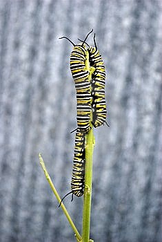 Monarch Caterpillars Royalty Free Stock Photo - Image: 8656415