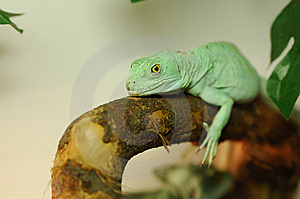 Lizard Royalty Free Stock Photos - Image: 8660658