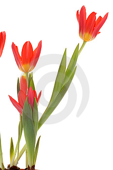 Red Tulips. Stock Photos - Image: 8660793