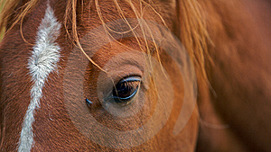 A Closeup Portrait Of The Head Brown Horse Stock Photo - Image: 8661000