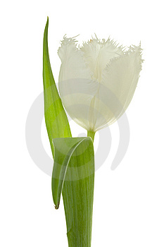 Tulipe Blanche. Images stock - Image: 8661004