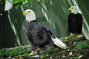 Bald Eagles Stock Photography - Image: 8661332