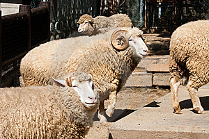 Sheeps And Ram Stock Photos - Image: 8661553
