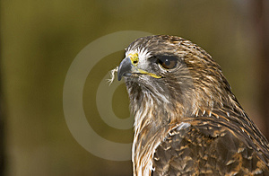 Red-Tailed Hawk (Buteo Jamaicensis) Stock Photography - Image: 8661762