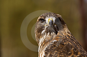 Portrait Of A Red-Tailed Hawk (Buteo Jamaicensis) Royalty Free Stock Images - Image: 8661769