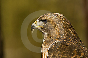 Profile Of A Young Red-Tailed Hawk (Buteo Jamaicen Royalty Free Stock Photos - Image: 8661778