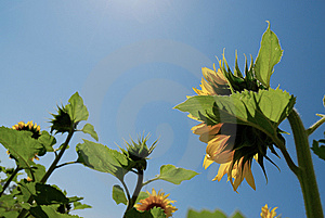 Sunflower With Blue Sky Stock Photo - Image: 8662130