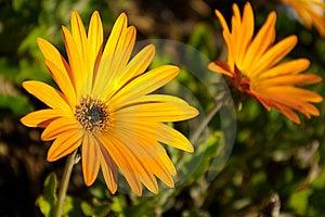 Yellow Daisies Stock Photography - Image: 8662232