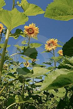 Zonnebloemen Onder Zonneschijn Stock Afbeelding - Afbeelding: 8662321
