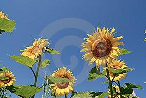 Sunflower Stock Image - Image: 8662341
