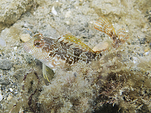 Italian Tompot Blenny Royalty Free Stock Photos - Image: 8662958