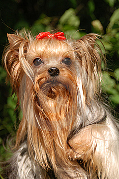 Jorkshirsky Terrier Royalty Free Stock Photo - Image: 8663625