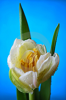 Tulip Royalty Free Stock Photography - Image: 8664137