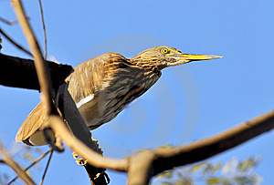 Black Crowned Heron Stock Image - Image: 8664401