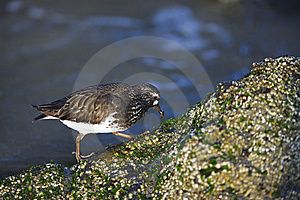 Black Turnstone (Arenaria Melanocephala) Stock Images - Image: 8664514