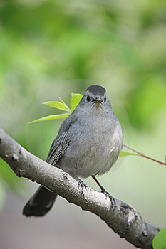 Gray Catbird (Dumetella Carolinensis Carolinensis) Royalty Free Stock Photos - Image: 8664568