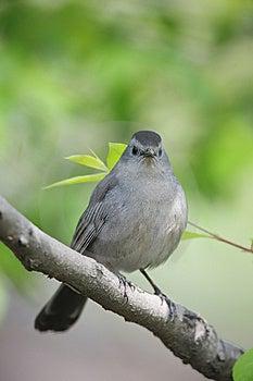 Gray Catbird (Dumetella Carolinensis Carolinensis) Royalty Free Stock Photos - Image: 8664568