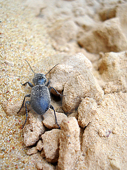 Ground Beetle Stock Photography - Image: 8664572