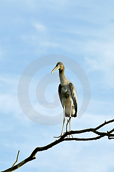 Painted Stork Royalty Free Stock Photos - Image: 8664598