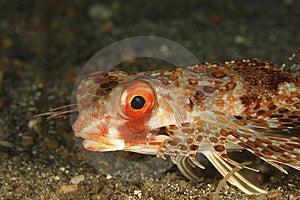Helmut Gurnard (Dactylopena Orientalis) Stock Photo - Image: 8664600