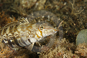 Yellowtail Sandperch (Parapercis Sp.) Royalty Free Stock Image - Image: 8664626
