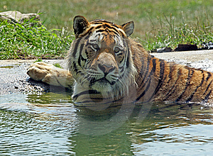 Bengal Tiger Stock Photo - Image: 8664680