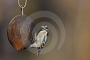 Downy Woodpecker (Picoides Pubescens Medianus) Royalty Free Stock Photos - Image: 8664878