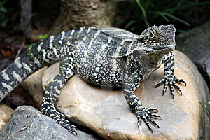 Blue Tongue Lizard Royalty Free Stock Images - Image: 8665289