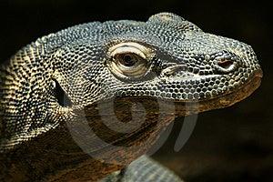 Komodo Dragon Stock Photo - Image: 8665760